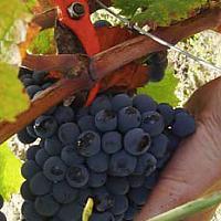 De la cave à la vigne